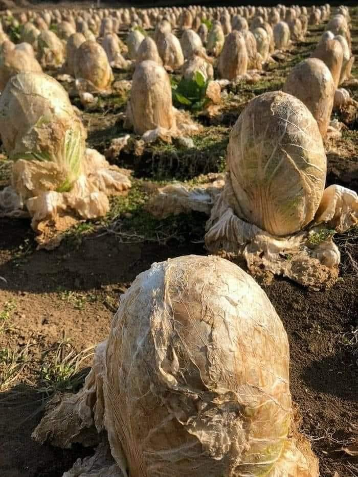 You are currently viewing Despite its mysterious origin, massive cabbage patch south of Aberdeen continues to grow rapidly